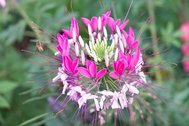 Blüte der Spinnenblume
