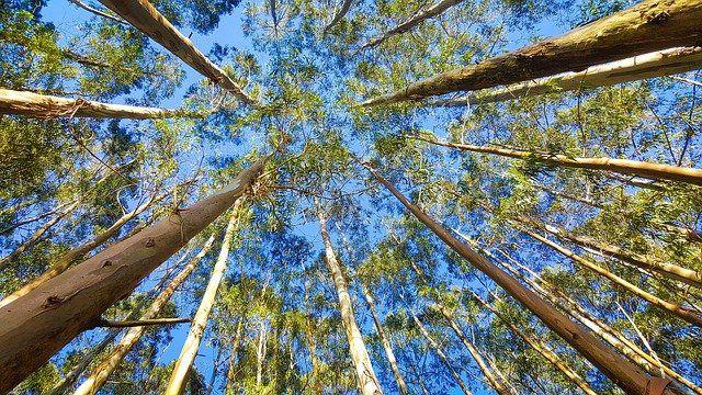 Eukalyptus-Bäume können bis zu 100m groß werden