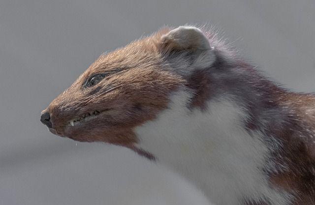 Ein Marder mit dem auffällig weißen Hals